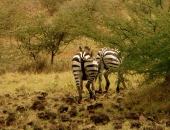 Zebras von hinten.